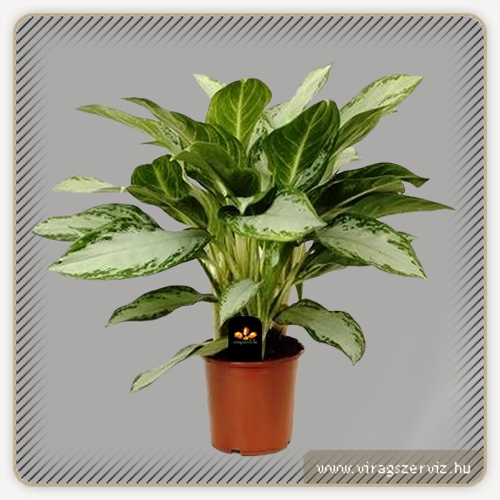 Aglaonema commutatum Golden Bay