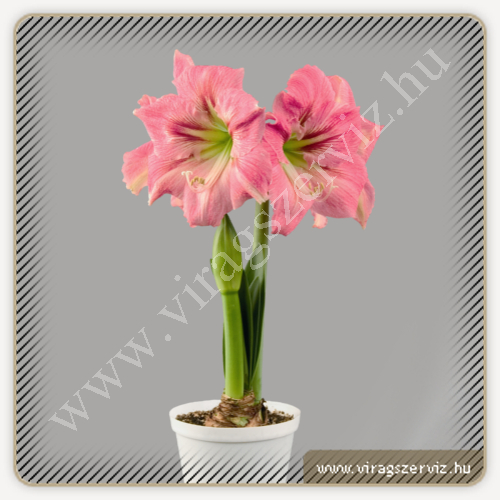 Hippeastrum Symphony Candy Floss
