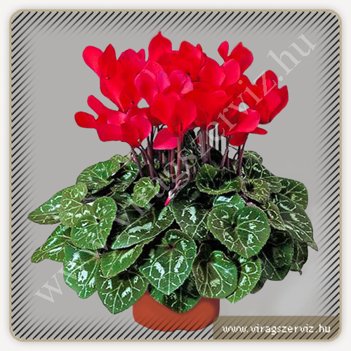 Cyclamen Persicum Red