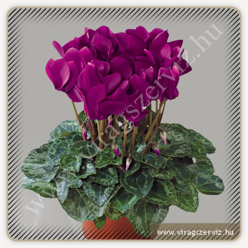 Cyclamen Persicum Purple
