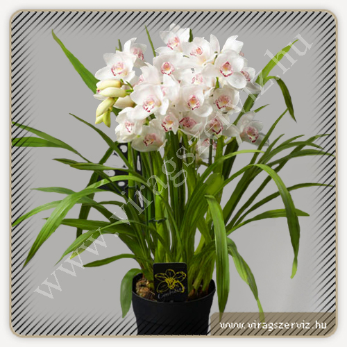 Cymbidium Dawn Bluch - White