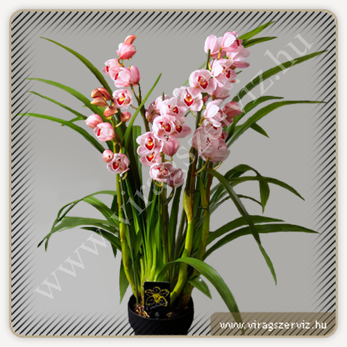 Cymbidium Lucky Rainbow