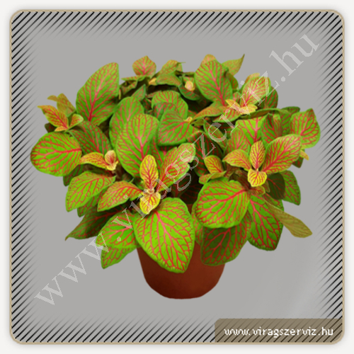 Fittonia Albivenis Red Veined